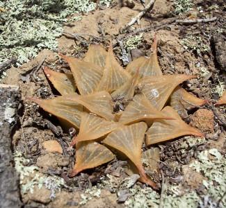 Haworthia acuminata Melkh