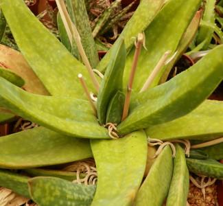 "Gasteria pendulifolia ""Shongweni"""
