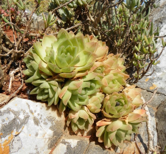 Haworthia cymbiformis var. cymbiformis Bakensrivier