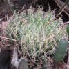 Haworthia jansenvillensis