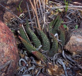 Haworthiopsis-scabra var. scabra Aart.