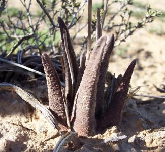 Haworthiopsis sordida SE Kirkwood