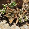 Haworthiopsis tessellata Lady Grey