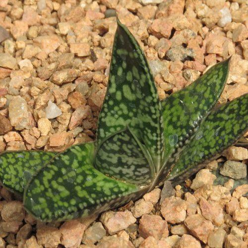 bicolor liliputana squat
