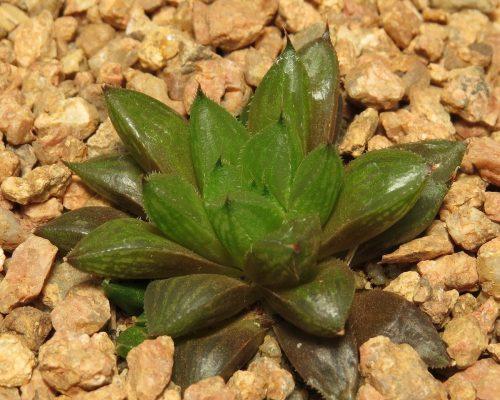 consanguinea 1b